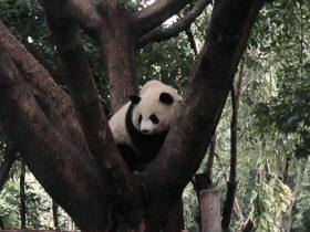 ジャイアントパンダ保護区-四川