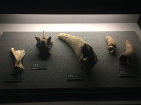 牛肩胛骨-牛頸椎-水牛角-黄牛角-展示ホール1-昔日の郷里-金沙遺跡博物館-成都市