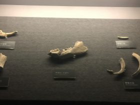 猪獾下頜骨など-展示ホール1-昔日の郷里-金沙遺跡博物館-成都市