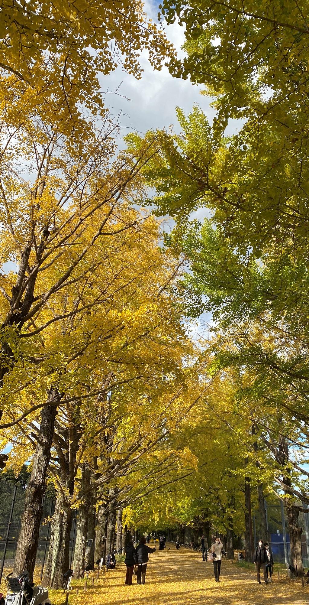 かたらいのイチョウ並木-国営昭和記念公園-立川市-東京