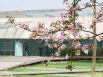 垂丝海棠-金沙の春:成都金沙遺跡博物館-四川成都