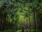ジャカランダ-5月26日満開-金沙遺跡博物館-撮影:ZhangYan