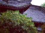 最愛の秋-満城にキンモクセイの雨-成都武侯祠博物館-成都市-撮影:張禕
