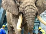 新客速報-大象が入った成都博物館